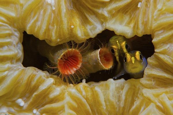 Первое место в категории «Макросъёмка»: желтоносые бычки (Elacatinus randalli) выглядывают из коралла-мозовика. Канадец Тодд Минц сделал этот снимок близ карибского острова Бонэйр.